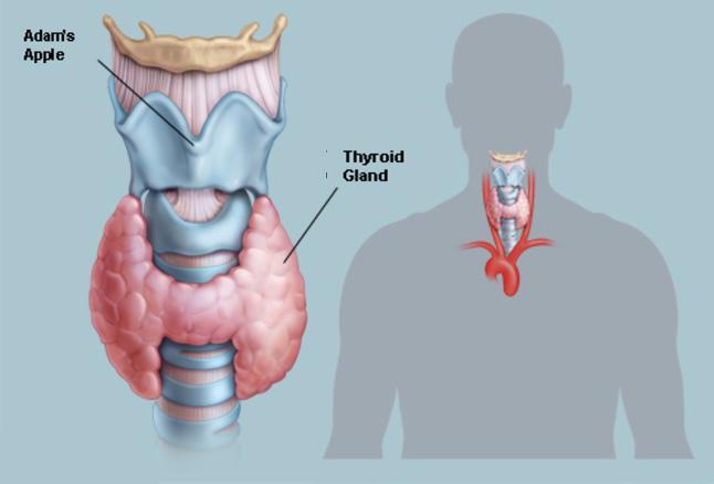 Thyroid-s – уникальный натуральный препарат гормона щитовидной железы показанный при гипотиреозе. Сделан в Таиланде.