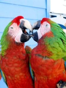 Vogelnamen met de letter C: 2 rood met groene papegaaien