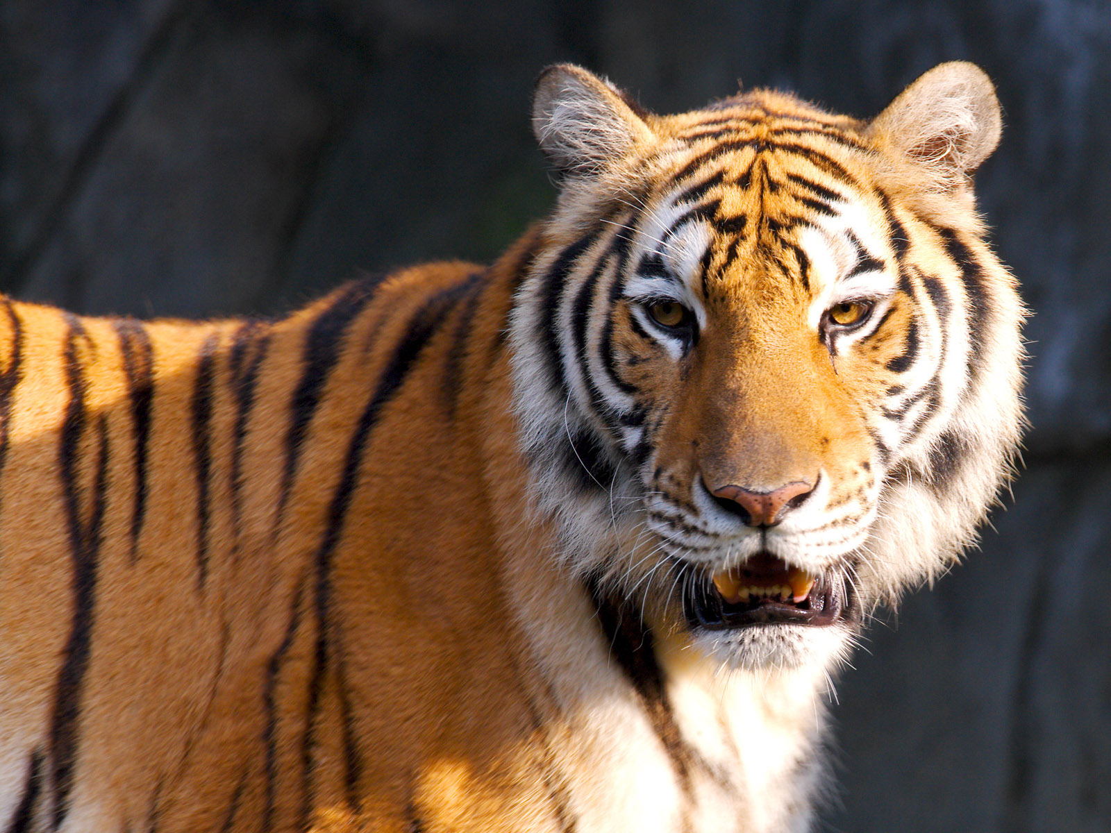 Shivaji Maharaj Hd Wallpaper For Pc Tiger Hd Wallpapers Wallpapers Hd