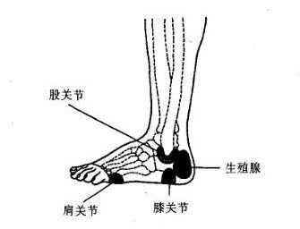腳部反射區的劃分-穴位養生-百年養生網