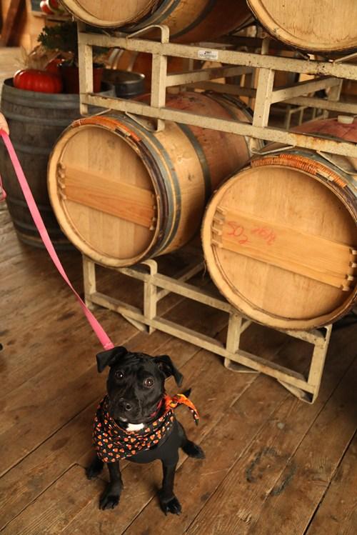 winedog