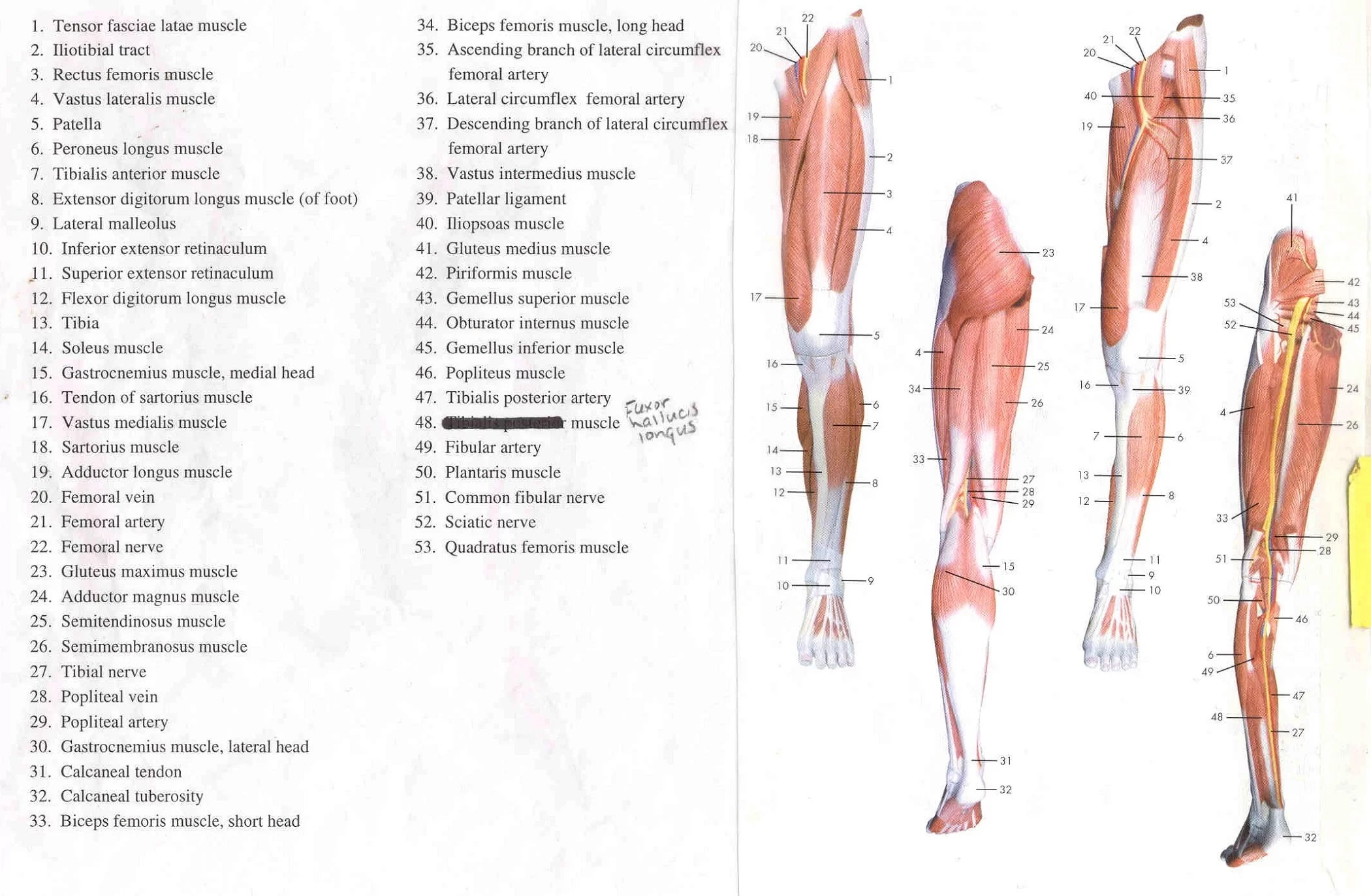 Leg Muscle Diagrams