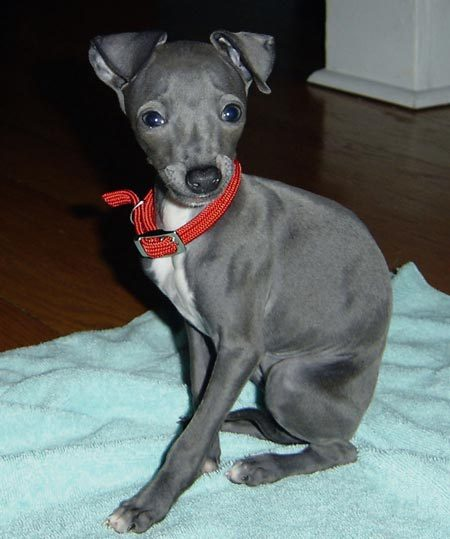 Black And Tan Italian Greyhound