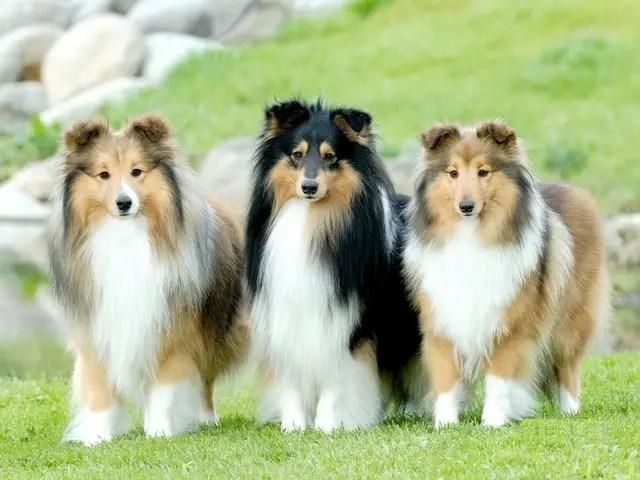 Image result for sheltie dog