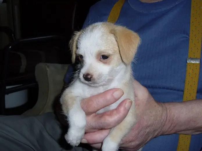 Malchi Chihuahua Maltese Mix Info Temperament Puppies