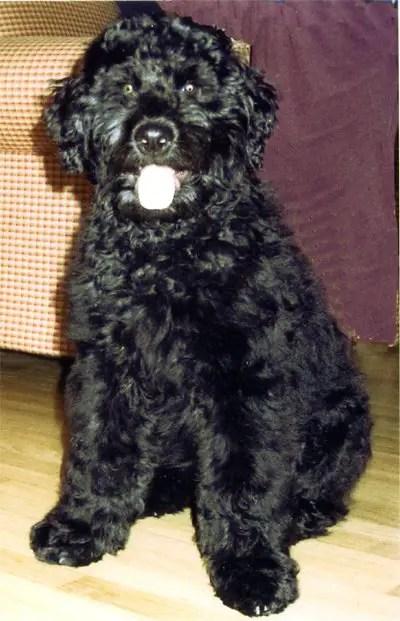 Rottle Rottweiler Poodle Mix Info Temperament Puppies