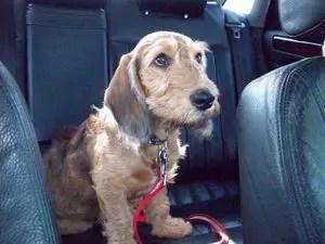 Bassetoodle Basset Hound Poodle Mix Info Temperament Puppies Pictures