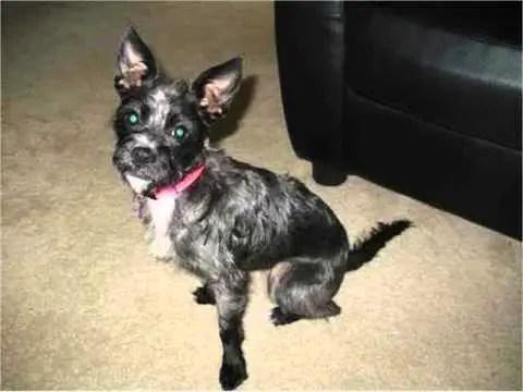 Chizer Chihuahua X Miniature Schnauzer Mix Temperament Puppies Pictures