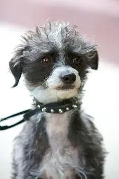 Pootalian Italian Greyhound X Poodle Mix Temperament