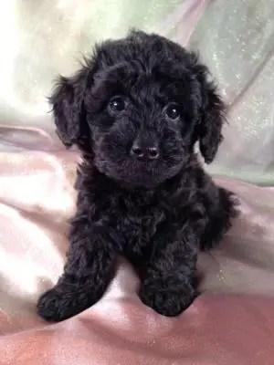 Schnoodle Schnauzer Poodle Mix Info Puppies