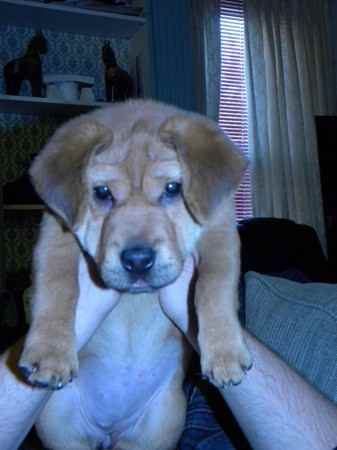 Sharp Eagle Shar Pei X Beagle Mix Info Temperament Puppies Pictures