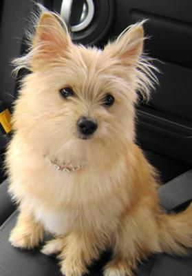 yoranian yorkie pomeranian mix info training and pictures