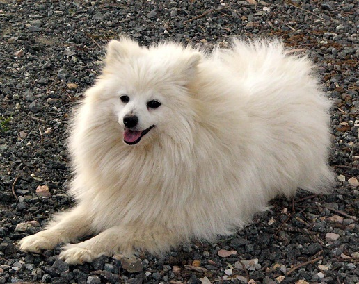 volpino italiano info temperament puppies pictures
