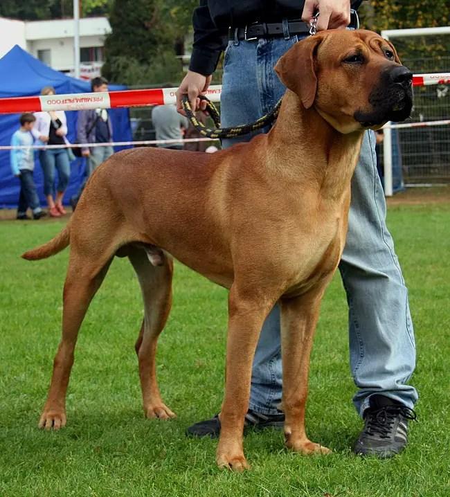 American Bulldog Hybrid