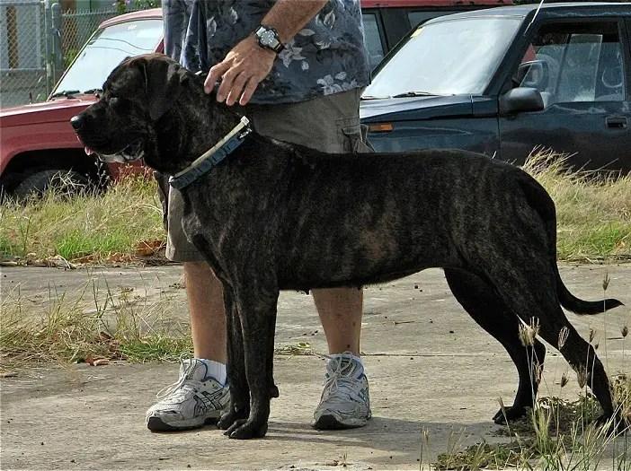 Kumaon Mastiff Info History Temperament Training Puppy