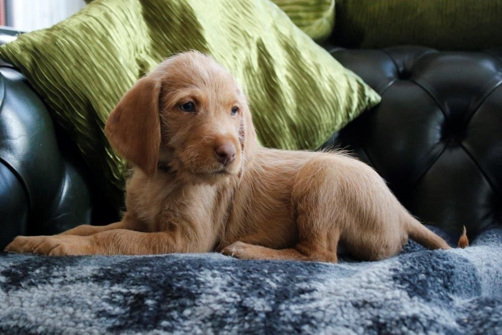 Wirehaired Vizsla Info Temperament Puppies Pictures