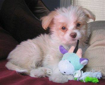 Cheenese Havanese X Chihuahua Mix Info Puppies Pictures