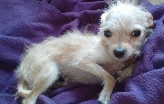 Wire Chiwoxy Wire Haired Terrier X Chihuahua Info Pictures