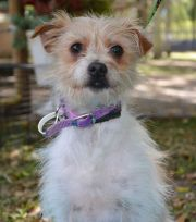 wire chiwoxy haired terrier