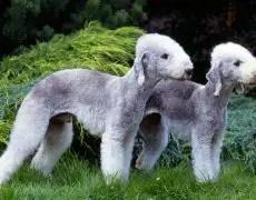 Bedlington Terrier Info Puppies Characteristics Pictures