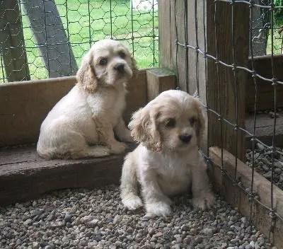 American Cocker Spaniel Info Temperament Puppies Pictures