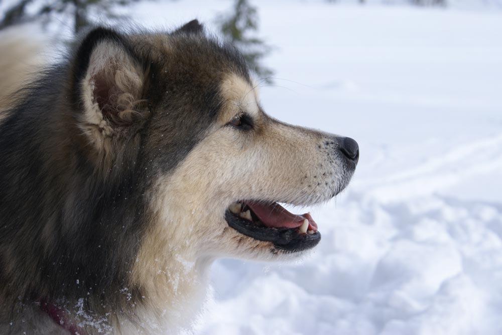 Raza Alaskan Malamute Fotos de perros Alaskan Malamute