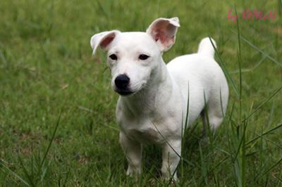 10 Interesting Facts About Jack Russell Terriers 10