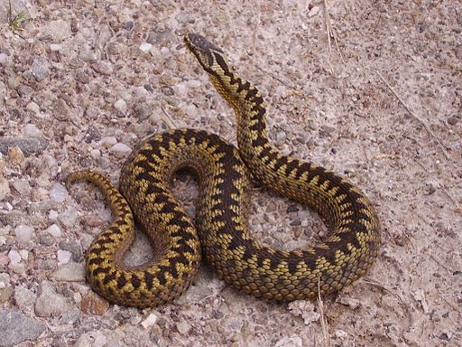 Native UK Snakes: Vipera berus (Adder), coiled and clearly showing zig zag markings along its back. Photographed in Loch Shin, Scotland (unedited) by Highlandtiercel via Wikimedia Commons [Public domain]
