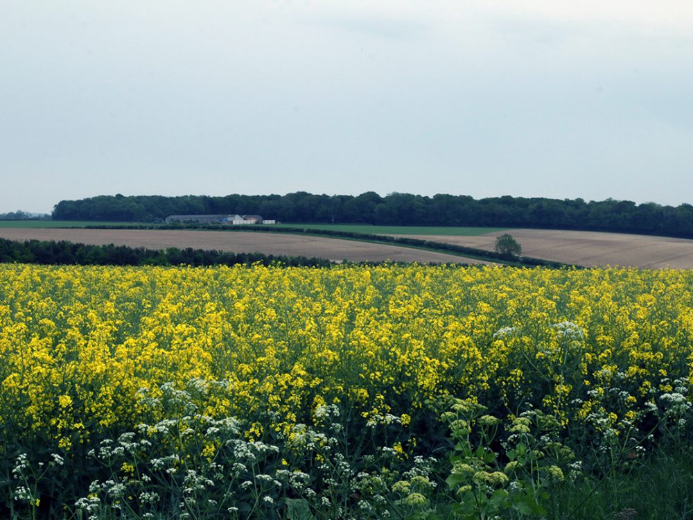 Field of yellow rape, Norfolk, UK, 2018. Copyright Stephanie Boon, 2018. All Rights Reserved.