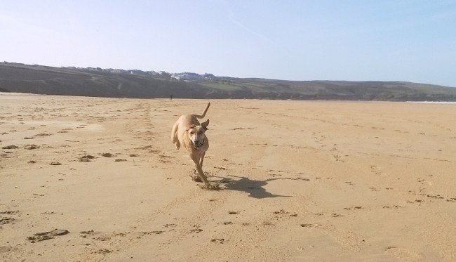 Greyhound running on Crantock Beach, near Newquay. South West Coast Path, Cornwall. Copyright Katie Sharp, 2014.