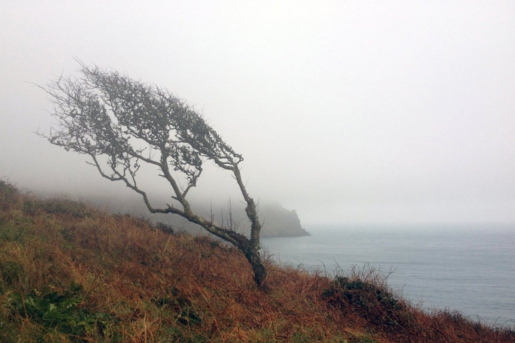A windswept tree in the mist on the South West Coast Path, Cornwall. Copyright Stephanie Boon, 2018. All rights reserved.