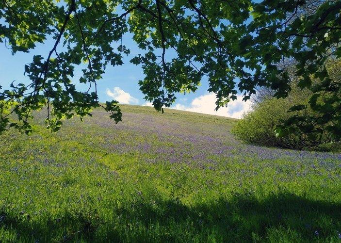 Mevagissey - Hana's Hike. . Bluebells on the cliff path near Porthpean, Cornwall