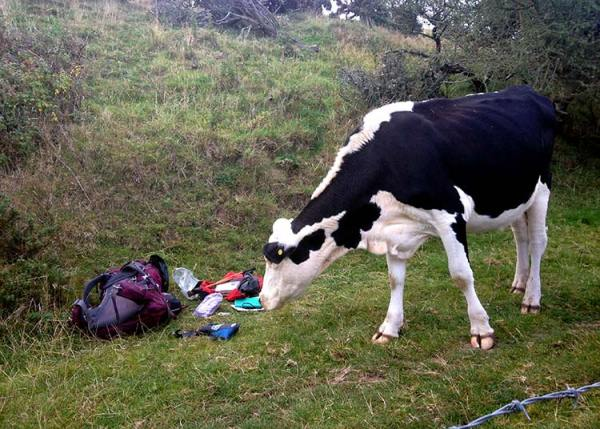 Bivvy camping - keep safe and stay away from livestock! Black and white cow sniffing rucksack and camping equipment on the ground.