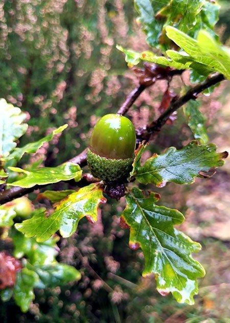 Autumn fruits - acorn