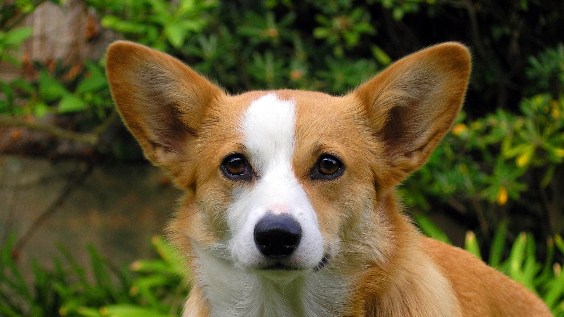 Cute Pet Dogs Corgi Photography HD Wallpaper 04 Preview