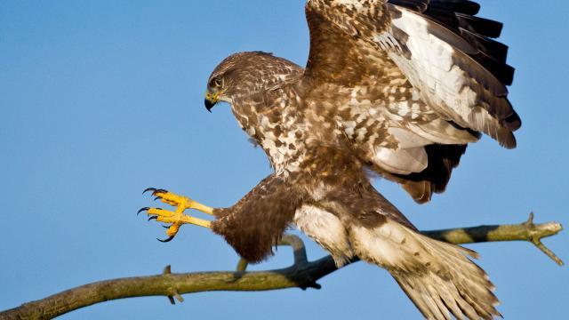 Politie zet roofvogels in om drones uit te schakelen
