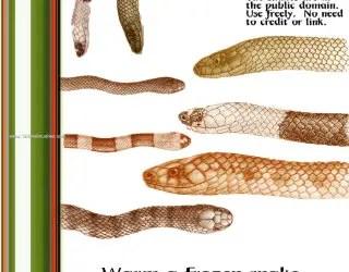 Hoplocephalus Snakes