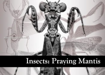 Insects: Praying Mantis