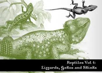 Reptiles – Lizard – Gecko