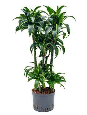 Dracaena dorado hydrocultuurplant van 90 cm kopen