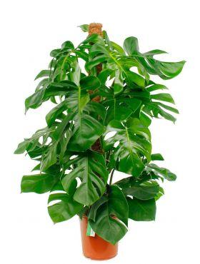 Kamerplanten verzorgtips en online kopen bij 123planten
