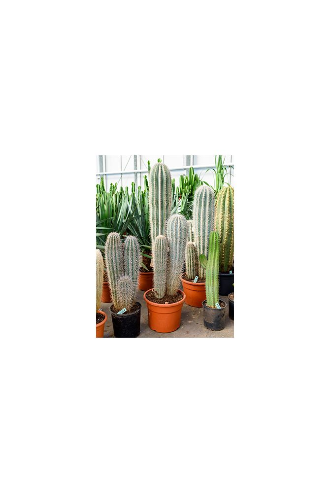 Pachycereus pringlei kamerplant van 170 cm kopen