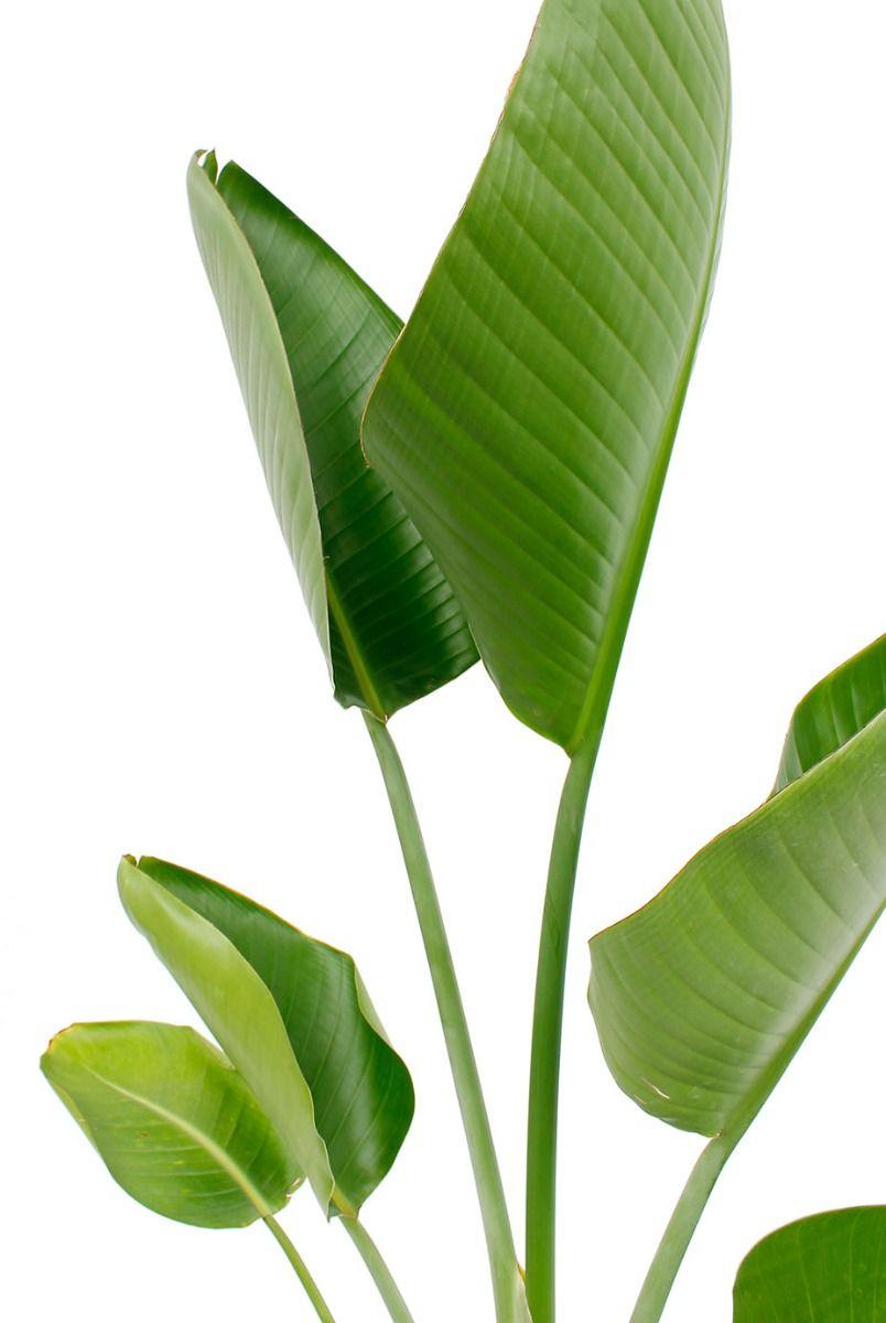 Strelitzia nicolai kamerplant van 120 cm kopen