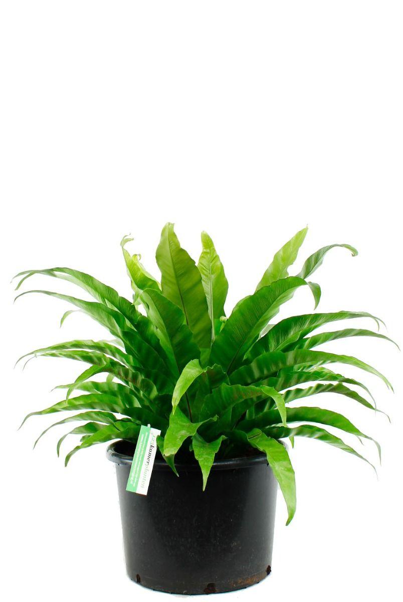 Asplenium antiquum kamerplant van 70 cm kopen  123plantennl