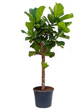 Ficus lyrata kamerplant van 160 cm kopen  123plantennl