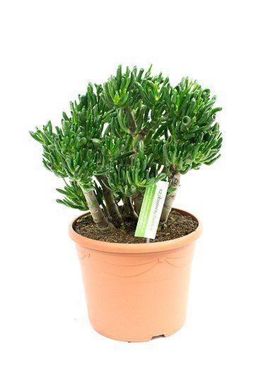 Crassula horntree kamerplant van 60 cm kopen  123plantennl