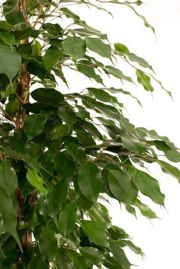 Ficus benjamina kamerplant van 180 cm kopen  123plantennl