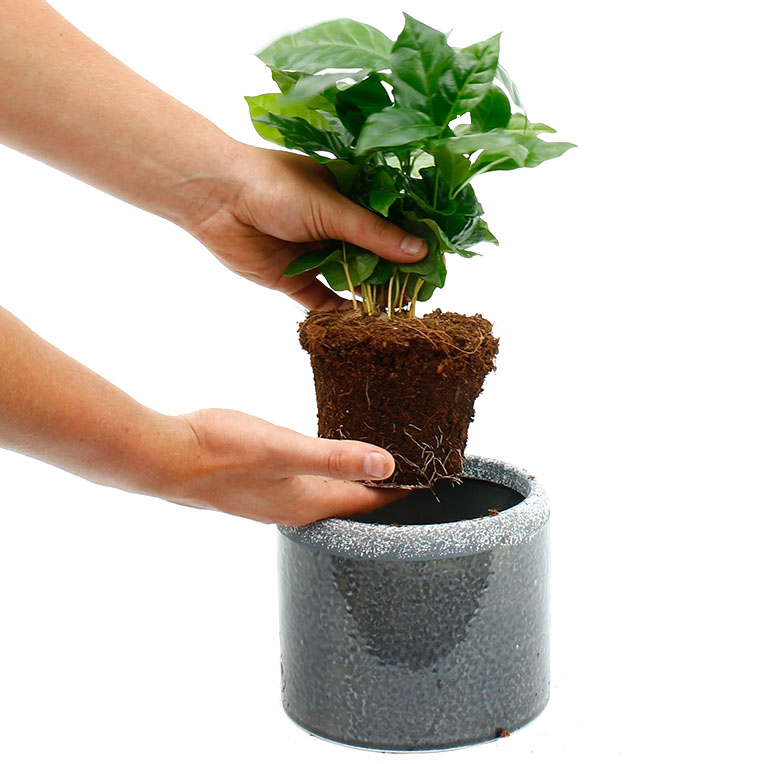 Coffea Arabica verzorging tips  informatie  123plantennl