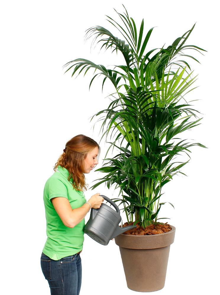 Palme Einpflanzen Finest Aufbau Der Grnen Palme Pflanzen