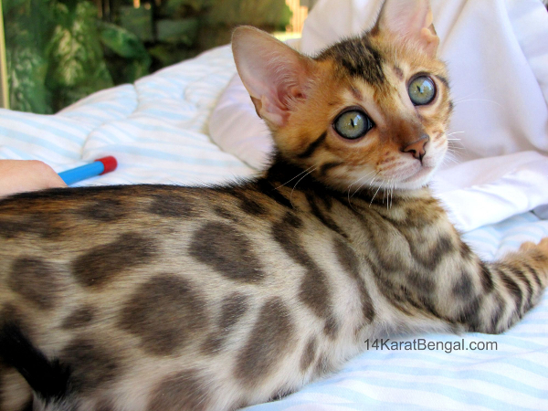 Cute Baby With Parents Wallpaper Bengal Kittens For Sale Healthy Top Quality Bengal